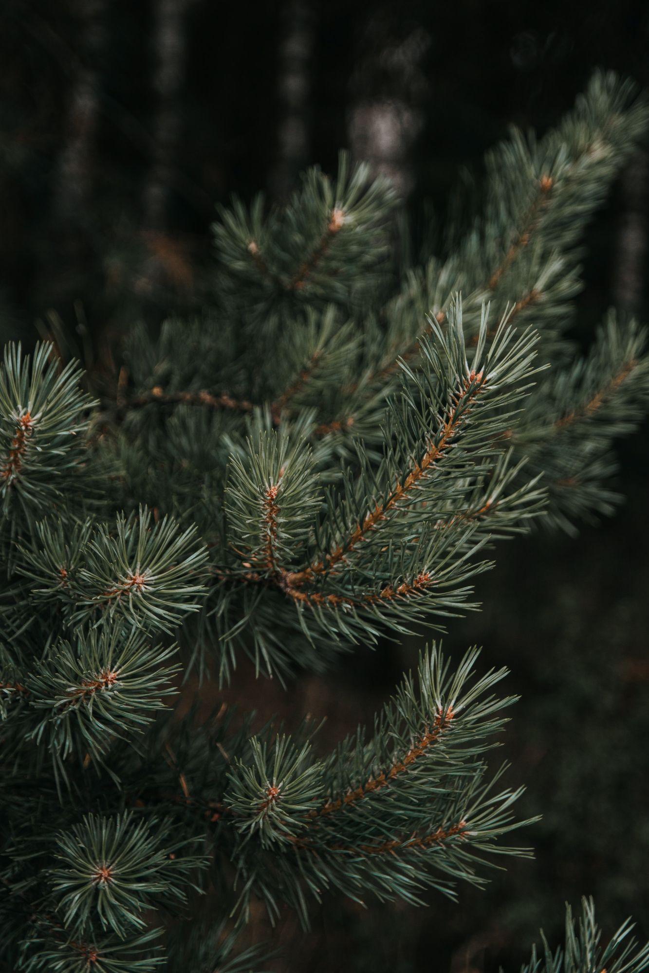 A real christmas tree