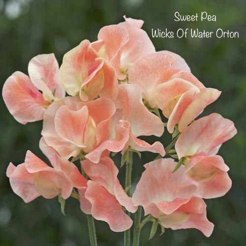 Sweet Pea Fragrance