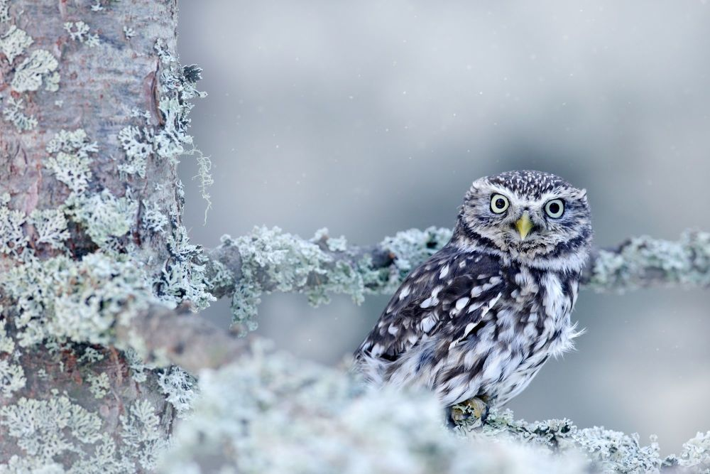 owl in the snow s