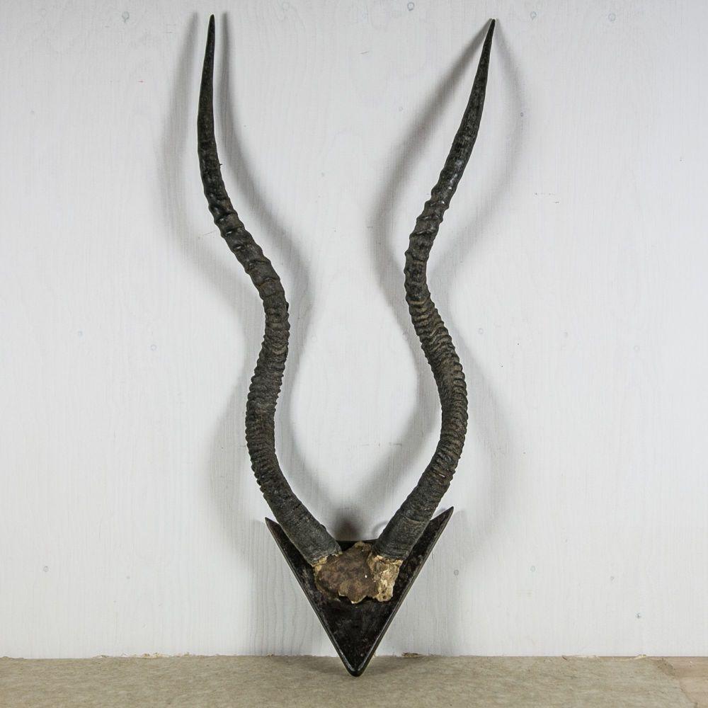 Vintage African ADDAX Horns