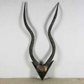 Vintage African ADDAX Horns SOLD