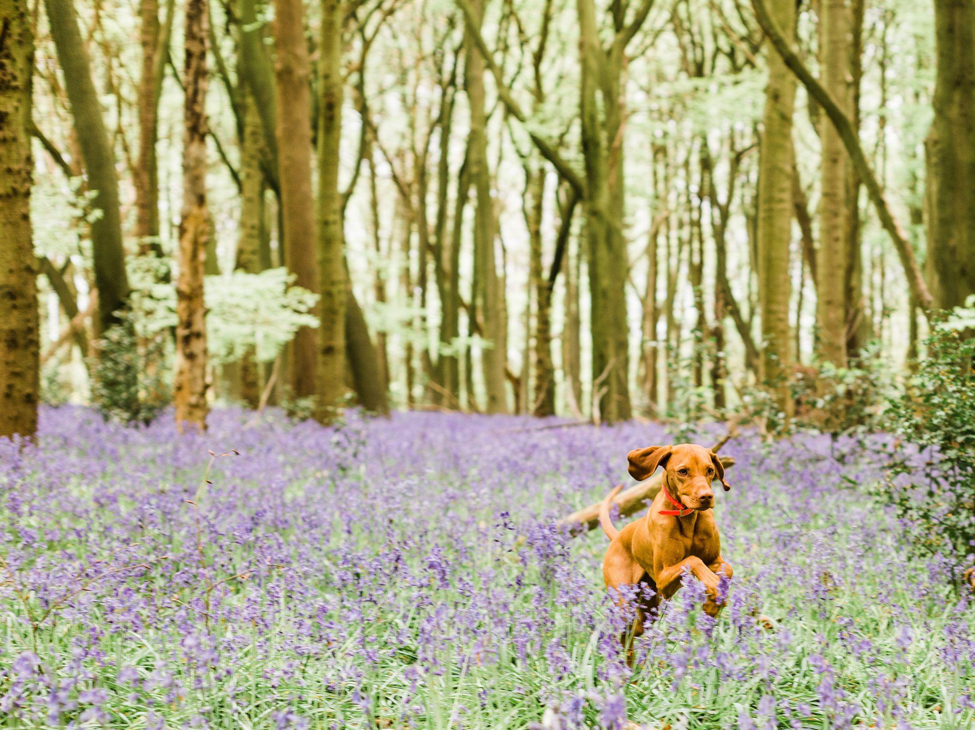 maple the dog - Lichfield professional photographer