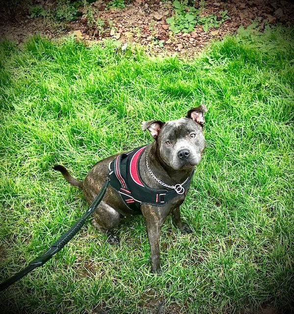 Staffy on walk