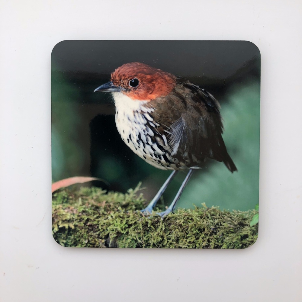 Chestnut-crowned Antpitta Coaster
