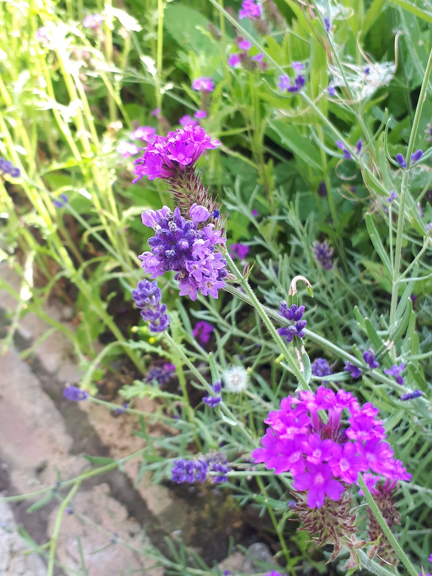 Lavender and purple Verbena in harmony against a foil of bluish grey foliage