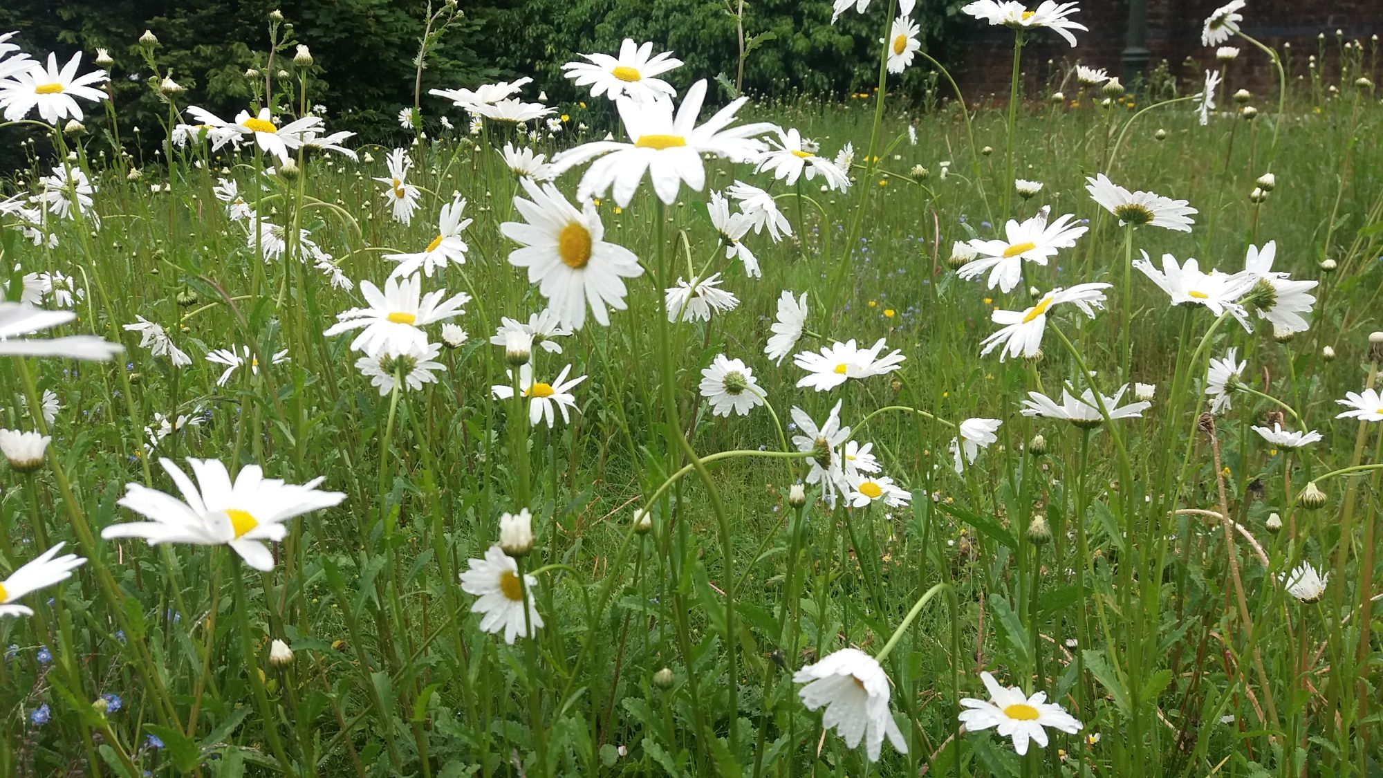 wildflower meadow  in limited palette of whites and yellows