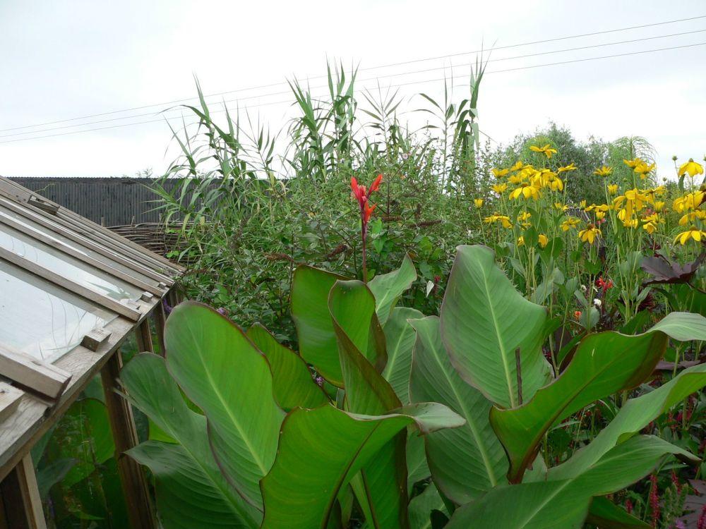 Canna musifolia grande in flower