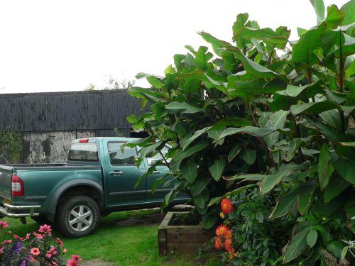 Canna musifolia grande