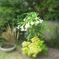 Brugmansia White
