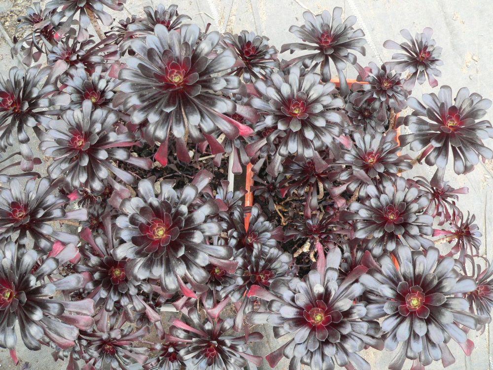 Zwartkop cluster