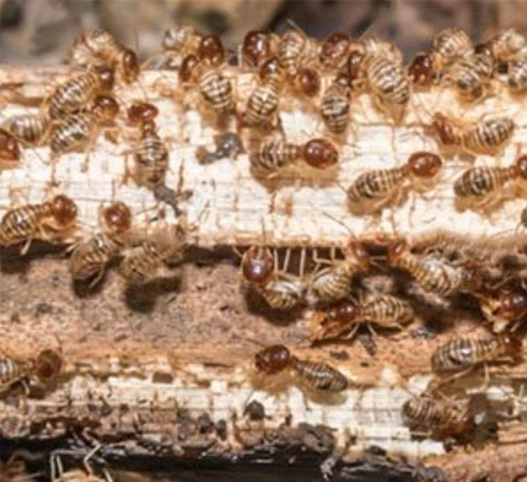 Termite Pest Control