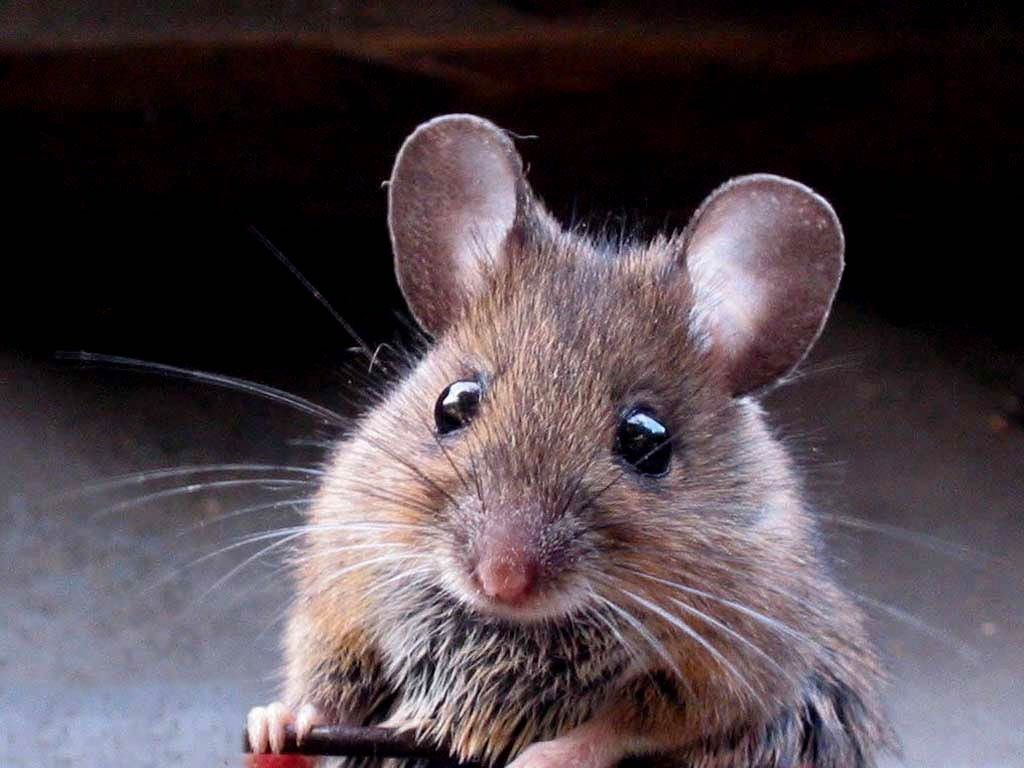 Rodent Control and Removal