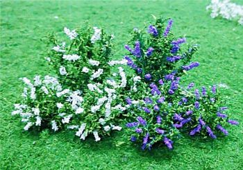 Tasma 00896  10 Buddleia plants