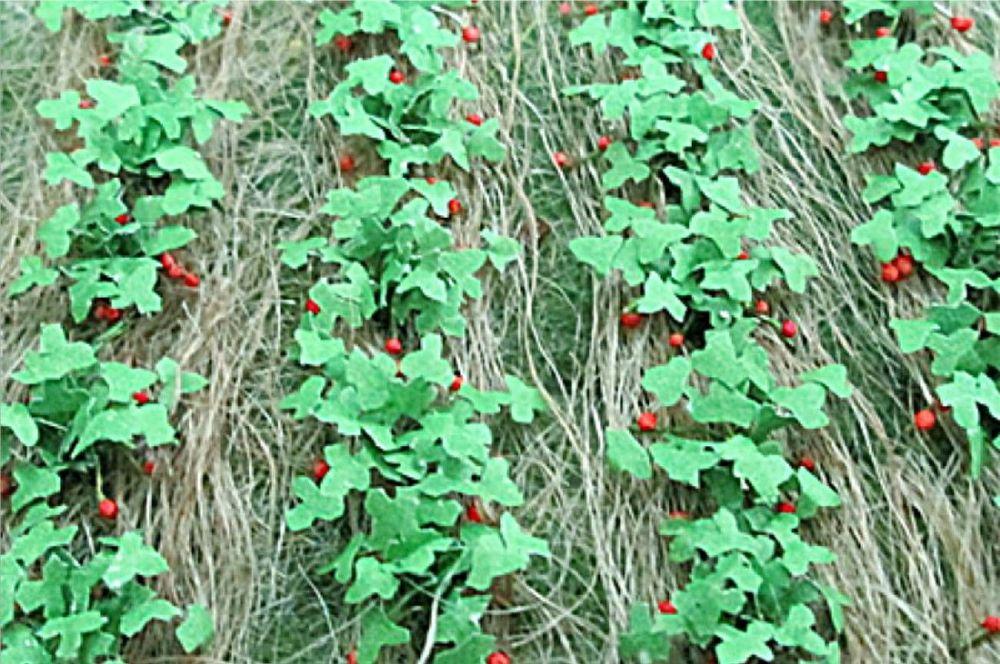 Tasma 00685  Strawberries (18)