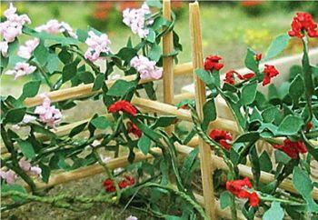 Tasma 00678  Climbing Roses (6)