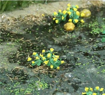 Tasma 00376  16 Marsh Marigold plants