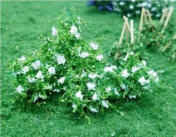 Tasma 00897  Elder Flower (10)