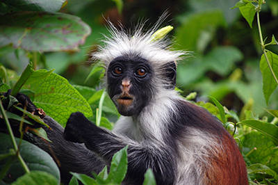 Zanzibar_Red_Colobus_Monkey