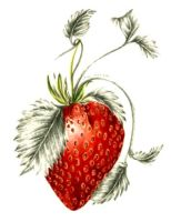 Jill Winch Strawberry
