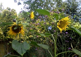 sunflowers for web