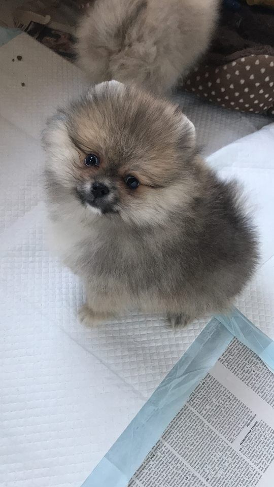 Altina Little Boy Pomeranian