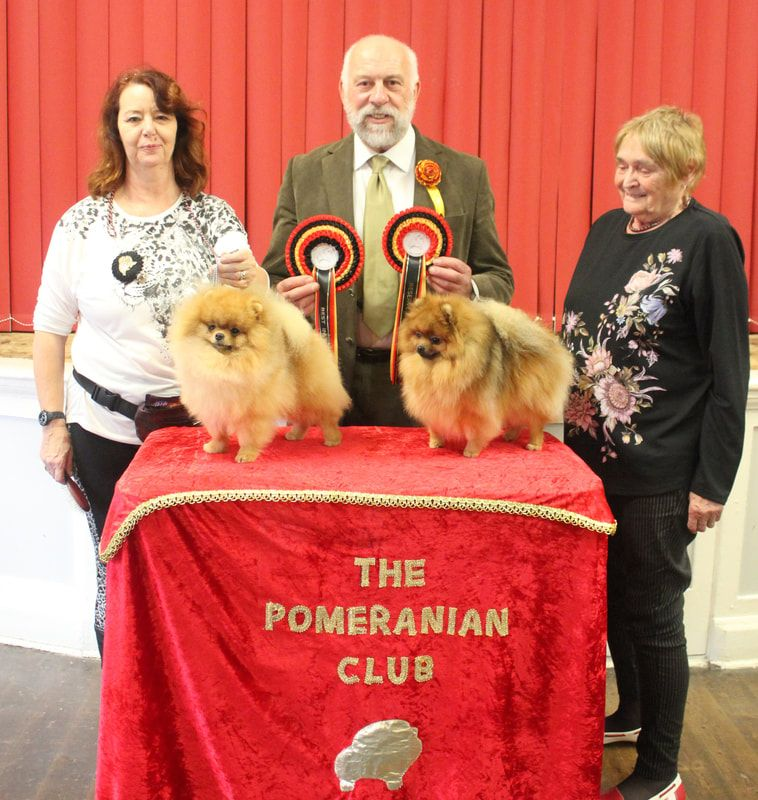 Dodo winning Best in Show at the Pomeranian Club