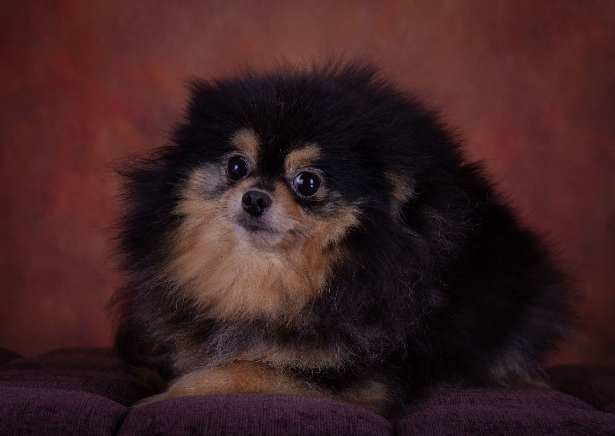 Altina's Rumba - Black and Tan Pomeranian