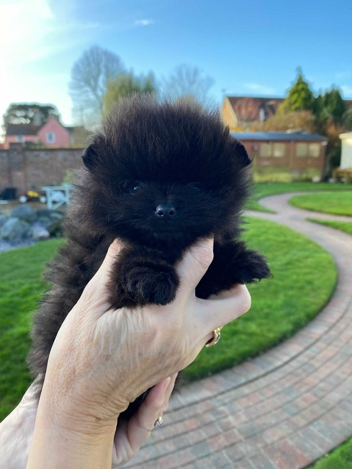 Altina black puppy