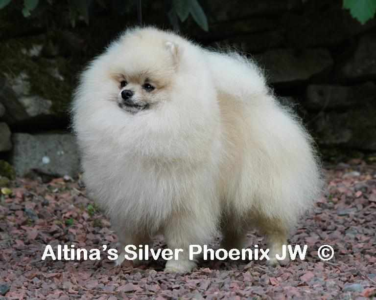 CH Altina's Silver Phoenix