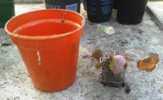 size of plug heuchera plant