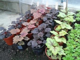 heuchera plug plants after seven weeks