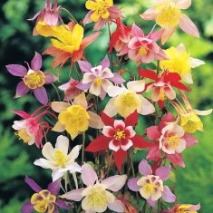 Aquilegia plants from seed