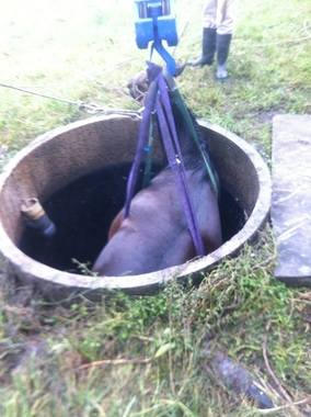 horse in a septic tank